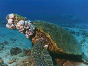 Green Sea Turtle with Fibropapillomatosis Tumors. (Photo courtesy of fullspectrumbiology.com)
