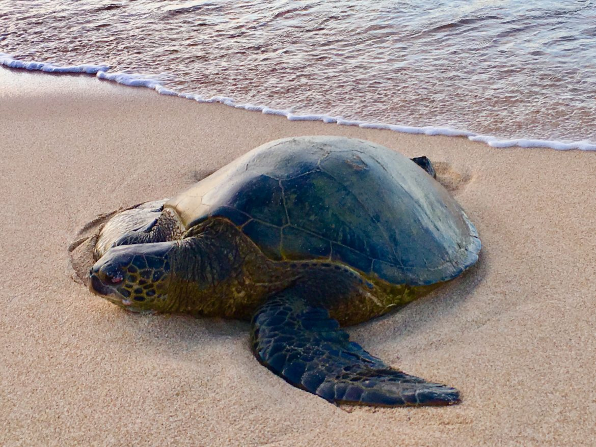 Picture of a honu resting on the shore.