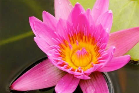 Picture of a pink flower.